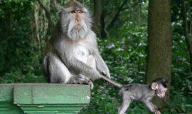 Alas Kedaton Monkey Forest and Sanctuary